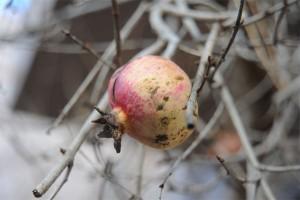 granatapfel-1a